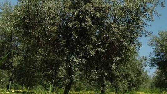 Dalla Calabria Tappo Oro del Frantoio Figoli