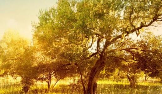 frantoio ranchino olio extra vergine d'oliva umbria uliveti poggio amante