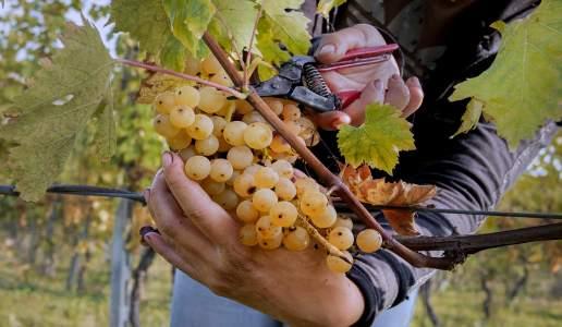 lusenti malvasia cantina vini emilia romagna vino bianco colli piacentini