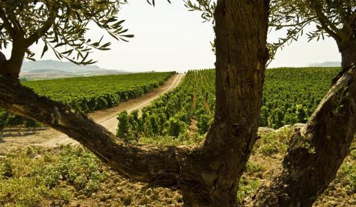 Vigneto Sicilia - 50 milioni di bottiglie per la Doc Sicilia