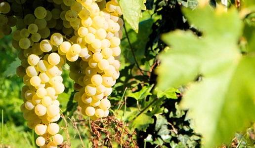 bianchello del metauro uva grappolo