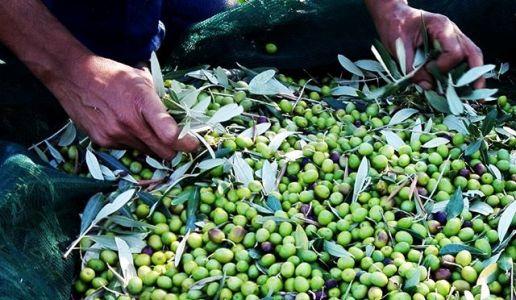 Olive frantoio I&P