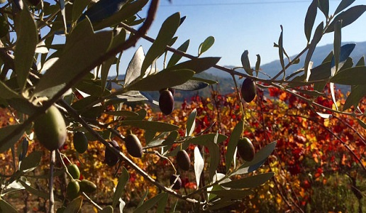 Olive Autunno