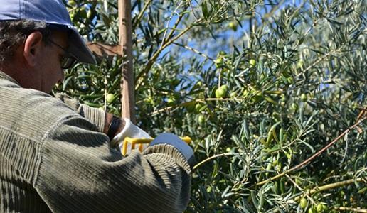 Raccolta varietà ulive tonda iblea