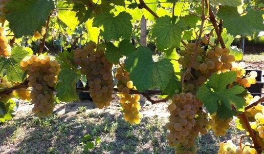 immagine uva grappolo foglia arneis vino bianco piemonte vite vigna
