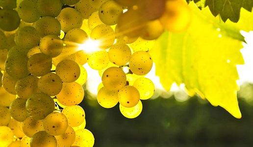 grappolo di vermentino uva bianca sardegna