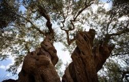 Oleificio Guccione albero secolare