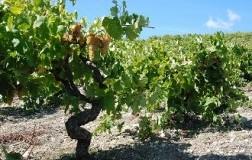 Catarratto, dal cuore della Sicilia