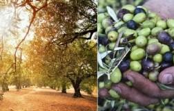 Monte Schiavo olive olio