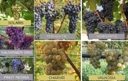 VARIETA-RESISTENTI-miglioramento-genetico-in-Trentino