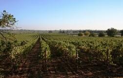 Vigna Pedale, un'altra idea di Puglia in rosso (2)