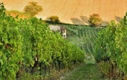 vigna degli estensi cantina vini marche vigneti