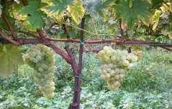 Erbamat vitigno Franciacorta