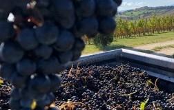 Lucchetti Lacrima di Morro d'Alba uve