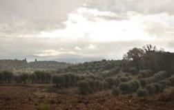 felsina uliveto ulivi toscana olio extravergine d'oliva raggiolo